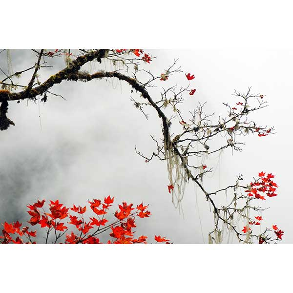 Japanese Botanical Tree with Red Leaves